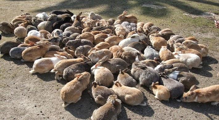 Okunoshima Bunny Island Rabbit Group - Cycle Time